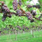 Foto wijngoed Fortune product