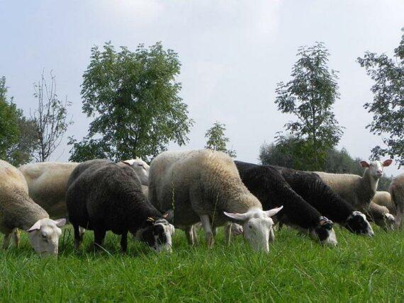 Foto schapenmelkerij producent