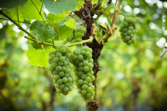 Oost-Vlaamse Wijnbouw